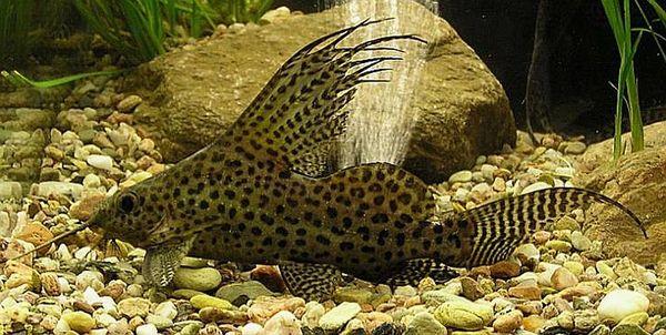 Black spotted catfish