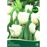 Small_tulipcalgary