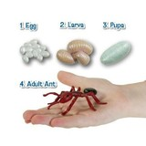 Small insect lore ant life cycle figures plastic classroom resource sq