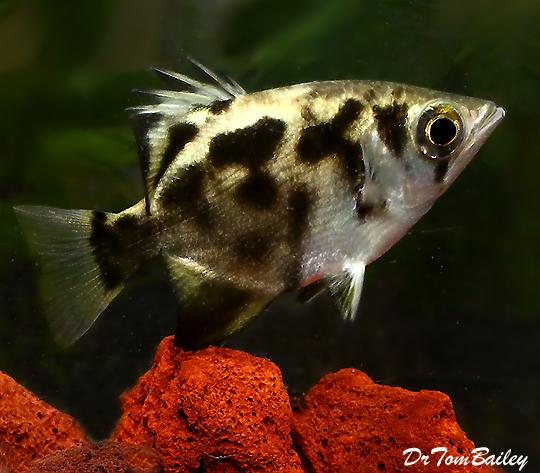 Archer fish angel aquarium for Archer fish for sale