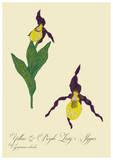 Small yellow   purple lady s slipper